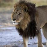 מלכת החיות: הלביאה אימצה לעצמה מראה זכרי כדי להגן על הלהקה
